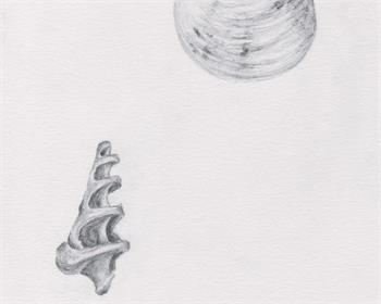 shells and coral study drawing veronica lamb